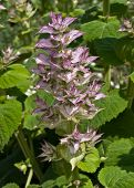 picture of clary  - Clary sage  - JPG