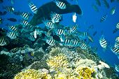 picture of sergeant major  - School of Scissortail Sergeant Fishes on a coral reef in the Red Sea - JPG