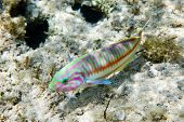 Colorful Rainbow wrasse (Thalassoma rueppellii) on a tropical coral reef. Thomas reef, Red Sea, Egyp