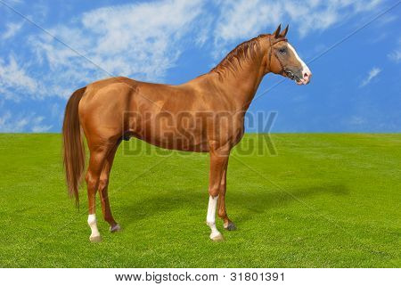 Red warmbllood horse on green grass