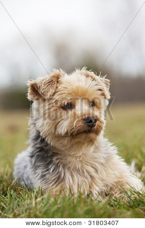 A happy Yorkshire terrier laying in the grass, shallow depth of field with focus on the eye