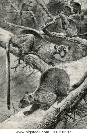 "Woody kangaroos (Dendrolagus ursinus). Engraving by  Kunert. Published in magazine ""Niva"", publishing house A.F. Marx, St. Petersburg, Russia, 1899"