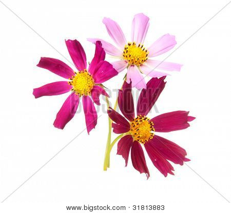 Cosmos, flowers isolted on white