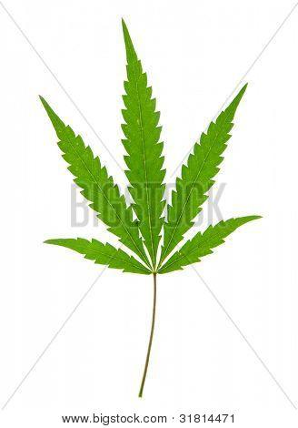 leaf of hemp isolated on white
