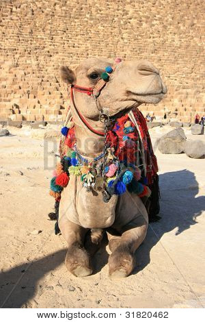 Camel near the pyramids of Cairo, Egypt.