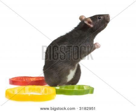 Praying Rat