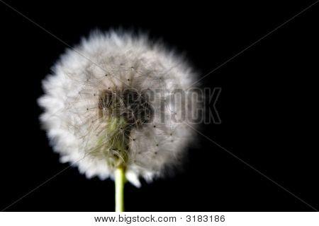 White Fuzz Dandelion