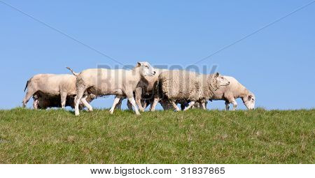 Sheep At A Dike With A Blue Sky
