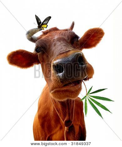 Cow on a white background. It is isolated