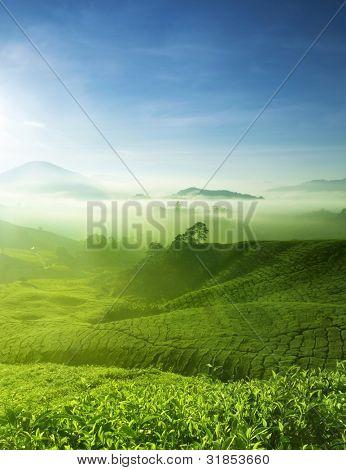 Tea Farm landscape in Cameron Highland, Malaysia.