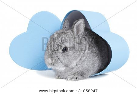 Gray rabbit bunny baby exit from blue heart gift box