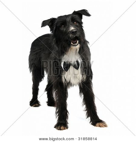 Elegant male dog with bow tie, isolated on white background