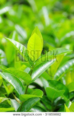 Green tea bud and fresh leaves