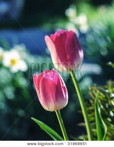 Tulips close-up