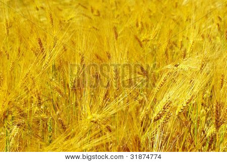 A wheat is in the field