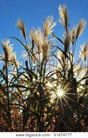 Tall Grass With Sunburst