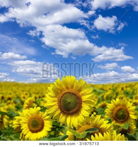Field of flowers of sunflowers