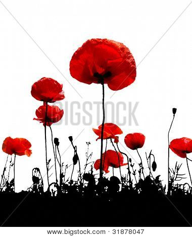 Poppy flower on a white background