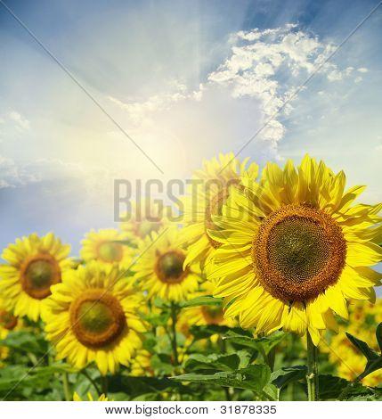 Bereich der Blüten von Sonnenblumen