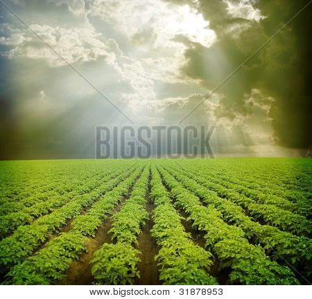 Kartoffelfeld unter blauen Himmel