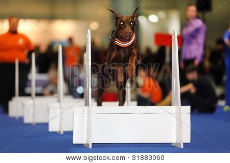 Brown dog jumps over white barrier at dogshow - demonstration of training