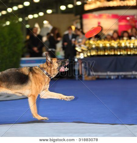 Cão salta e tenta pegar o disco vermelho - demonstração de treinamento no dogshow