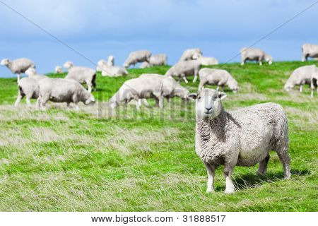 Herde der Schafe auf der Wiese