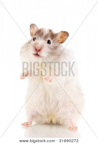 Cute hamster standing isolated white