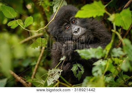 poster of Wild Mountain Gorilla In The Nature Habitat. Very Rare And Endangered Animal Close Up. African Wildl