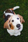 Basset Hound Adorable Older Dog poster