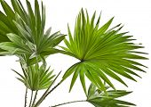 Livistona Rotundifolia palm tree isolated on white