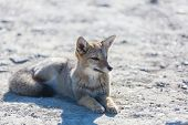 South American gray fox (Lycalopex griseus), Patagonian fox, in Patagonia mountains poster