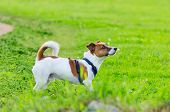 Jack Russell Terrier. Young Energetic Dog Is Walking And Playing With Its Owner. How To Protect Your poster