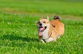 Young Energetic Welsh Corgi Pembroke Is Running. Corgi With A Long Tail. How To Protect Your Dog Fro poster