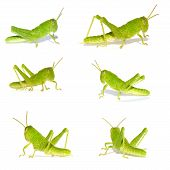 image of cricket insect  - The Green Cricket Insect  - JPG