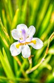 An Hdr Of A White Iris In A Spring Garden. poster