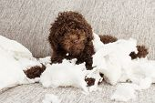 Funny Puppy Mischief. Naughty Chocolate Poodle Home Alone After Bite A Pillow. Obedience Concept. poster