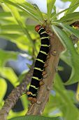 foto of hornworms  - Tetrio Sphinx Caterpillar native to Antigua Barbuda in the Caribbean Lesser Antilles West Indies eating a leaf on a frangipani tree.