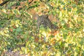 A Leopard, Panthera Pardus, Hiding Behind Mopani Bushes. Whiskers And Eyes Are Visible poster