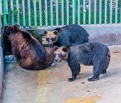Two Adult Asiatic Black Bears Wait For Brown Bear To Get Drink Of Water In Corner Of Cage At Local Z poster