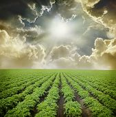 image of potato-field  - Potato field under blue sky - JPG