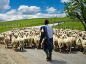 picture of mustering  - Shepherd with his sheep herd in a romanian village - JPG