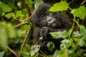 Wild Mountain Gorilla In The Nature Habitat. Very Rare And Endangered Animal Close Up. African Wildl poster