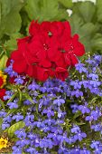 image of lobelia  - Brilliant red geranium flower with trailing blue lobelia in a garden planter - JPG
