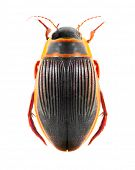 picture of water bug  - The great diving beetle  - JPG