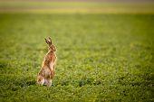 Постер, плакат: Коричневый заяц lepus europaeus
