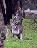 Mother Kangaroo With Her Joey In Her Pouch In The Outback poster