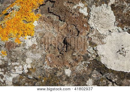 Lichen On Rock.