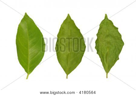 Withering Of Lemon Leaf