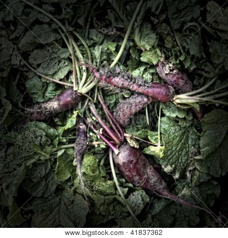 Red Radishes on a compost Heap